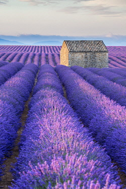HMS3332125 France, Alpes de Haute Provence, Verdon Regional Nature Park, Puimoisson, stone cottage in the middle of a field of lavender (lavandin) on the Plateau de Valensole