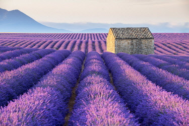 HMS3332126 France, Alpes de Haute Provence, Verdon Regional Nature Park, Puimoisson, stone cottage in the middle of a field of lavender (lavandin) on the Plateau de Valensole