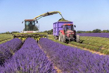 HMS3332148 France, Alpes de Haute Provence, Verdon Regional Nature Park, Allemagne en Provence, mechanized harvest of lavender (lavandin) on the Valensole Plateau