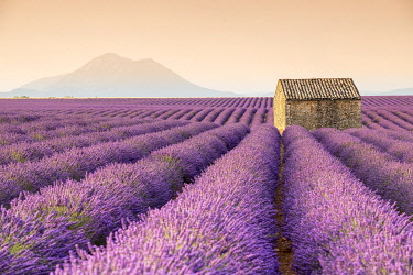 HMS3332171 France, Alpes de Haute Provence, Verdon Regional Nature Park, Puimoisson, stone cottage in the middle of a field of lavender (lavandin) on the Plateau de Valensole