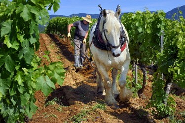 HMS3361886 France, Var, Presqu'ile de Saint Tropez, Gassin, domaine de la Rouillere, Jean Louis and Christine Calla plow a vineyard plot with their horse