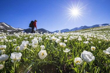 HMS3362544 France, Hautes Alpes, Nevache, La Clarée valley, flowerbed of buttercup of Kuepfer (Ranunculus kuepferi) and walker on the GR57