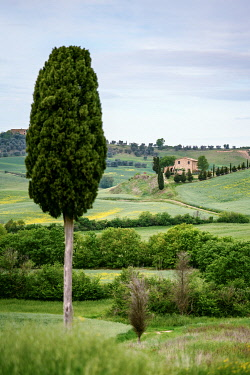 ITA14957AW Lonely farmohuse and green meadow, cypress tree in foreground. Val d'Orcia, Tuscany, Italy