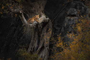 CLKMG115544 Leopard resting on a tree in the Serengeti National Park, Tanzania