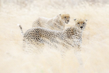 CLKMG115551 Cheetahs (acinonyx jubatus) hunting in the serengeti plain, Tanzania