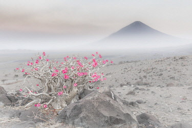 CLKMG115557 Adenium obesum in Lake Natron area, Northern Tanzania, with the active volcano Ol Doinyo Lengai (Oldoinyo Lengai) in the background