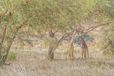 CLKMG115561 Masai giraffes (Giraffa camelopardalis tippelskirchii), also spelled Maasai giraffe, also called Kilimanjaro giraffe, in Tarangire National park