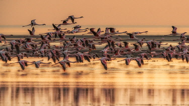 CLKMG115573 A flock of flamingos in Lake Natron at sunrise, Tanzania