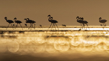 CLKMG115576 A flock of flamingos in Lake Natron at sunrise, Tanzania
