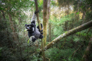 CLKMG115521 Indri (indri indri) in a primary forest in eastern Madagascar, africa