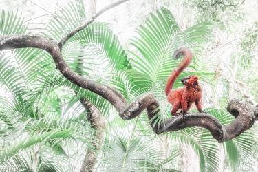 CLKMG115531 Red hybrid between eulemur macaco e Eulemur coronatus in Palmarium reserve, Madagascar