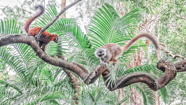 CLKMG115532 Red hybrid between eulemur macaco e Eulemur coronatus in Palmarium reserve, Madagascar