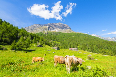 CLKFS114509 Cows and pastures at Alpe Vazzeda, Valmalenco, Valtellina, province of Sondrio, Lombardy, Italian alps, Italy