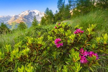 CLKFS114578 Rhododendron bush at Alpe dell Oro, Valmalenco, Valtellina, province of Sondrio, Lombardy, Italian alps, Italy
