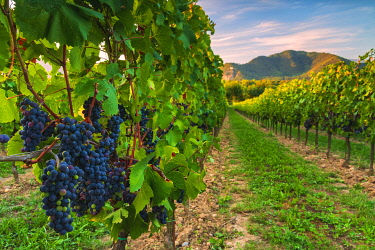 CLKMR115110 Grape of the Franciacorta, Brescia province, Lombardy district, Italy, Europe