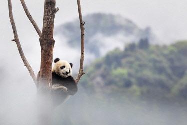 CLKMG113857 giant panda cub (Ailuropoda melanoleuca) climbing a tree in a panda base, Chengdu region, Sichuan, China