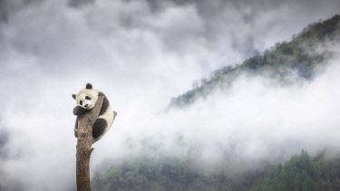 CLKMG113858 giant panda cub (Ailuropoda melanoleuca) climbing a tree in a panda base, Chengdu region, Sichuan, China