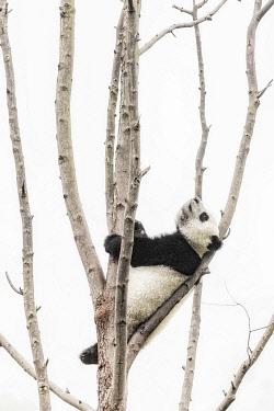 CLKMG113859 giant panda cub (Ailuropoda melanoleuca) climbing a tree in a panda base, Chengdu region, Sichuan, China