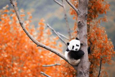 CLKMG113905 giant panda cub (Ailuropoda melanoleuca) in a panda base, Chengdu region, Sichuan, China