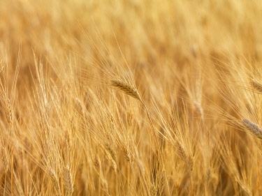 FRA11639AWRF France, Provence, Alps Cote d'Azur, Haute Provence, wheat