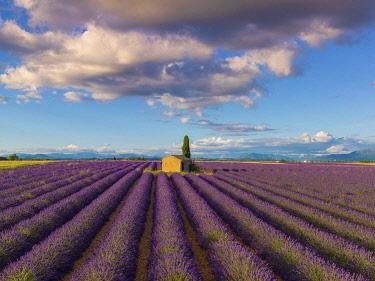 FRA11643AWRF France, Provence Alps Cote d'Azur, Haute Provence, Valensole Plateau, Lavender Field and stone barn