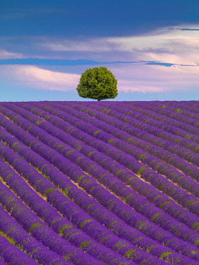 FRA11647AWRF France, Provence Alps Cote d'Azur, Haute Provence, Valensole Plateau, single tree and Lavender Field