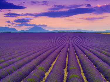FRA11609AW France, Provence Alps Cote d'Azur, Haute Provence, Valensole Plateau, Lavender Fields at dusk
