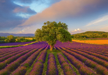 FRA11610AW France, Haute Provence, Provence, Sault Plateau, Rows of lavender and single tree