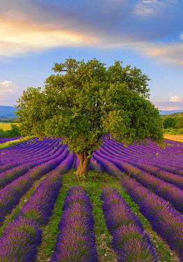 FRA11615AW France, Haute Provence, Provence, Sault Plateau, Rows of lavender and single tree