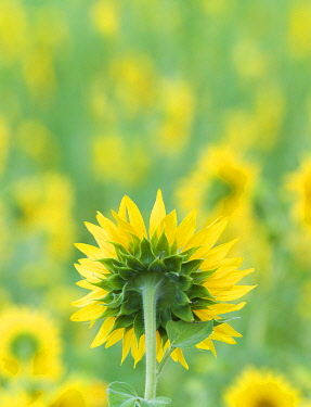 FRA11654AWRF France, Provence, Alps Cote d'Azur, Haute Provence, rear view of sunflower