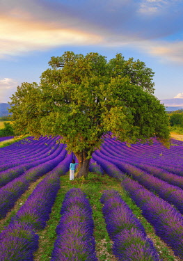 FRA11616AW France, Haute Provence, Provence, Sault Plateau, Rows of lavender with woman leaning against single tree (MR)