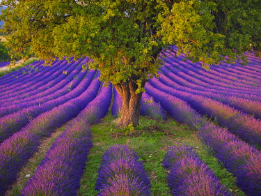 FRA11618AW France, Haute Provence, Provence, Sault Plateau, Rows of lavender and close-up of single tree