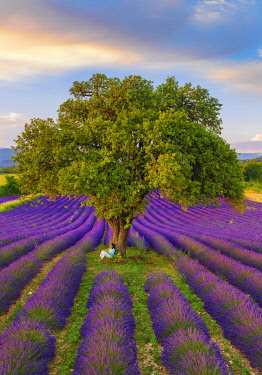 FRA11620AW France, Haute Provence, Provence, Sault Plateau, Rows of lavender with woman sitting against single tree (MR)