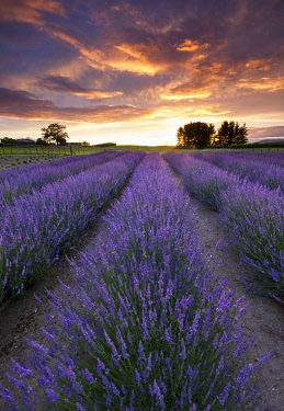 NZ9381AW Sunrise at a lavender farm in Te Awamutu, Waikato, New Zealand