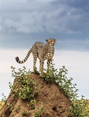 KEN11491 Kenya, Masai Mara, Narok County.  A Cheetah stands on top of a large termite mound in Masai Mara National Reserve.