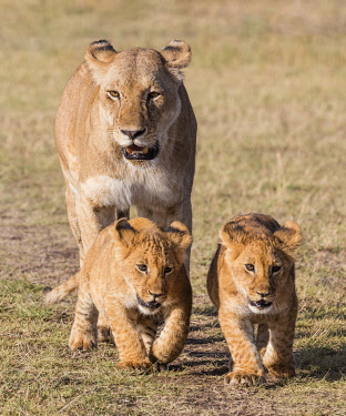 KEN11495 Kenya, Masai Mara, Narok County. A lioness follows her two cubs as they move away from open grasslands.