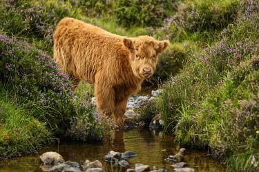SCO35563AW UK, Scotland, Highland, higland calf