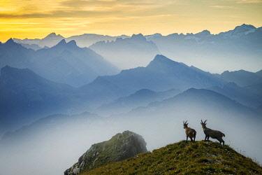 SWI8430AW Switzerland, Lucerne, Mount Pilatus, Alpine ibex, Capra ibex (m)