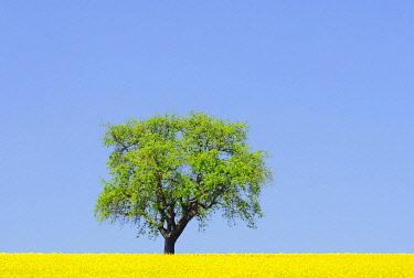 IBXBLU01398907 Pear tree on a canola field, Hohenlohe, Baden-Wuerttemberg, Germany, Europe