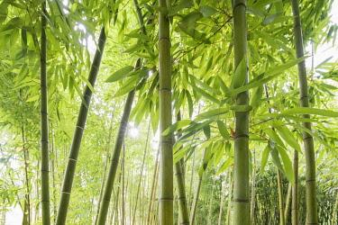 IBXDJS03823234 Bamboo (Bambus fargesia) grove, near Bad Krozingen, Baden-Wurttemberg, Germany, Europe