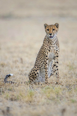IBXDRN04618564 Cheetah (Acinonyx jubatus), sitting, Nxai Pan National Park, Ngamiland District, Botswana, Africa