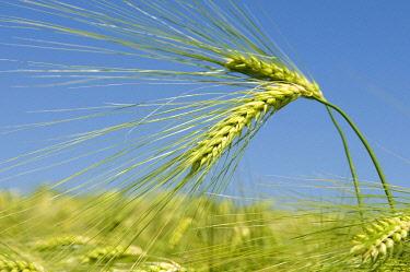 IBXDWH01322408 Barley field, Kamen, Ruhr area, North Rhine-Westphalia, Germany, Europe