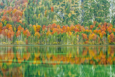IBXGVL03818070 Autumn forest with its reflection in Almsee lake, Grunau im Almtal, Upper Austria, Austria, Europe
