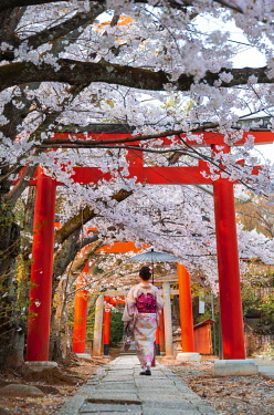 IBXMMW04991049 Japanese woman with kimono under blossoming cherry trees, Torii gate at Takenaka-Inari-Jinja shrine, Kyoto, Japan, Asia