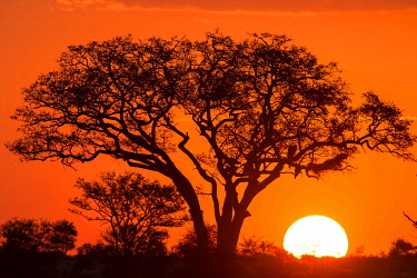 IBXMRA04904323 Umbrella thorn acacia (umbrella acacia tortilis) at sunset, Manyeleti Nature Reserve, South Africa, Africa