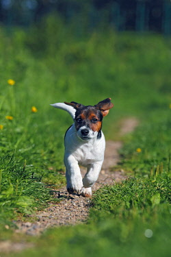 IBXUVE01693394 Young Jack Russell Terrier dog (Canis lupus familiaris), pup, male, 12 weeks, domestic dog
