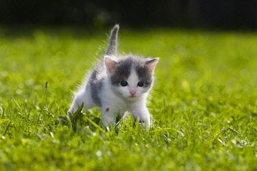 IBXWOK01771317 Kitten on a lawn