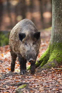 IBXWSC01741410 Wild boar (Sus scrofa), tusker