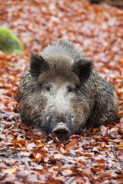 IBXWSC01755304 Wild boar (Sus scrofa), tusker