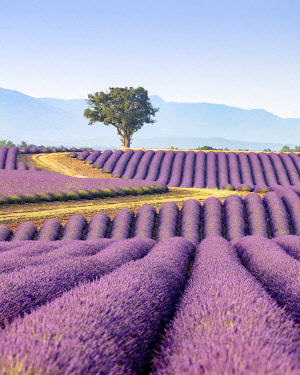 FRA11690AW Europe, France, Provence-Alpes-Cote d'Azur, plateau de Valensole, road winding to a lone tree surrounded by a field of lavender